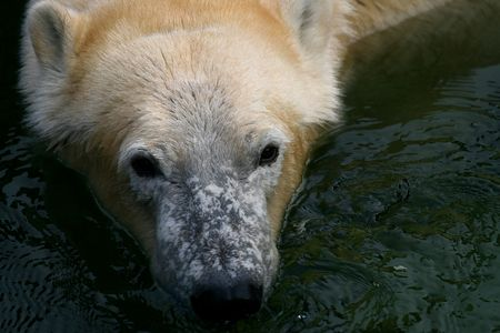 Icebear swimming after a meal