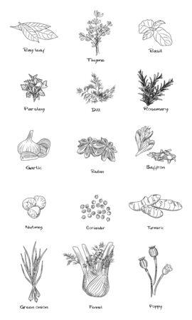 Set of culinary herbs. Fennel, green onion, turmeric, coriander, nutmeg, saffron, badian, rosemary, dill parsley basil Engraving vintage style Vector illustration