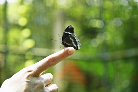 forefinger: Banded Peacock butterfly posed on forefinger Stock Photo