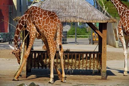 Giraffe at Artis Amsterdam Royal Zoo