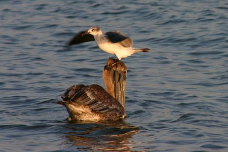bird web footed: Seagull sitting on top of a pelican in the ocean