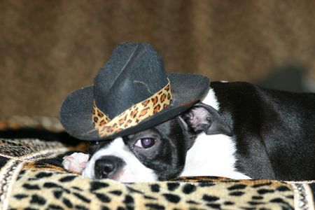 Boston Terrier laying down with a hat on