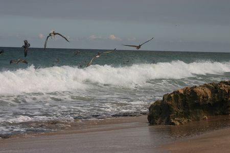 bird web footed: Pelicans flying and diving in the waves at evening time on the shoreline of a beach in Florida