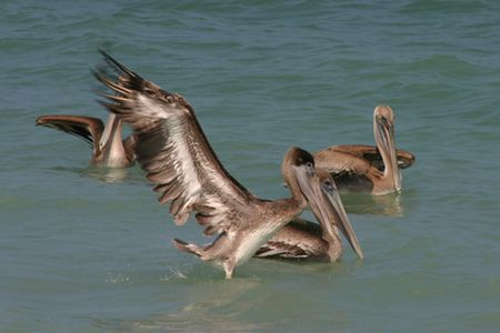 web footed: Pelicans sitting and flying in the ocean on the east coast of South Florida