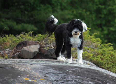 Rocks, trees and a black & white Portuguese Water Dog