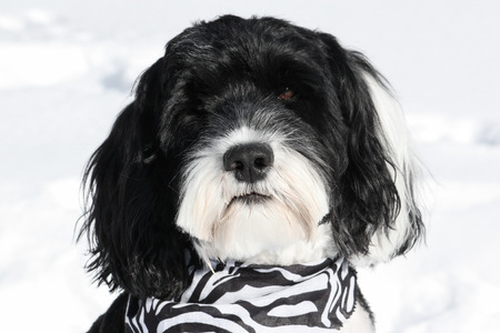 Portrait of a black and white dog wearing a bandana