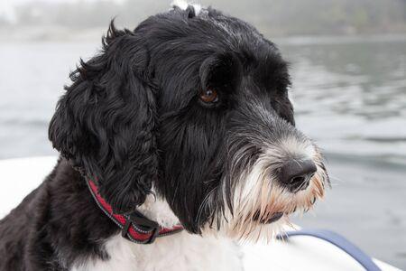 Black and white Portuguese Water Dog head shot