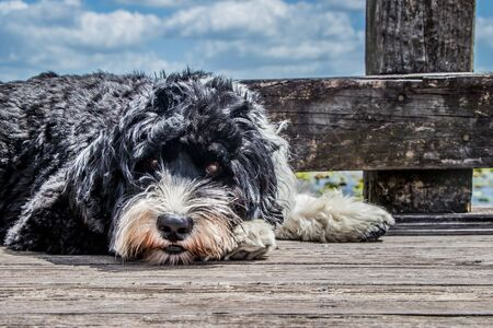 headshot of black and white Portuguese Water dog laying on a boardwalk