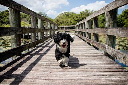 black and white dog running on a wooden boardwalk Standard-Bild - 134089604