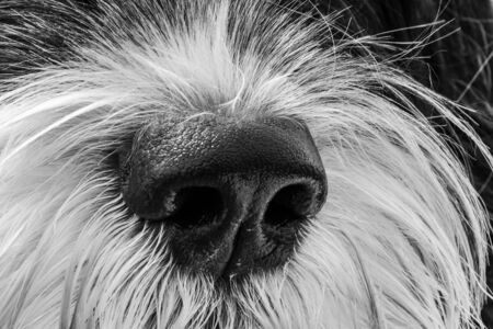 close up of Portuguese Water Dog nose in black and white Stock Photo