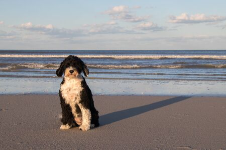cute black and white Portuguese Water Dog sitting on the beach