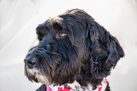 Portuguese Water Dog wearing a red and white Canada bandana