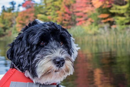 Portuguese Water Dog wearing a life jacket at the lake on a fall day Banco de Imagens