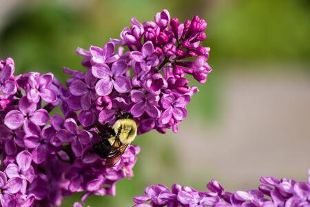 bee on purple lilacs in bloom