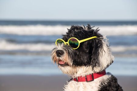 Portuguese Water Dog wearing yellow sun glasses at the beach
