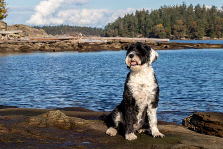 black and white Portuguese Water dog sitting on a driftwood covered rocky beach at Port Renfrew, British Columbia, Canada on a sunny autumn day