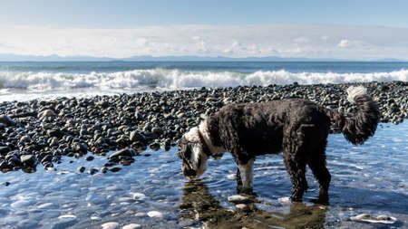 black and white Portuguese Water dog getting a drink of water at the beach on Vancouver Island, British Columbia Stock Photo