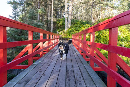 Black and white Portuguese Water dog going for a walk on a red wooden bridge in the forest