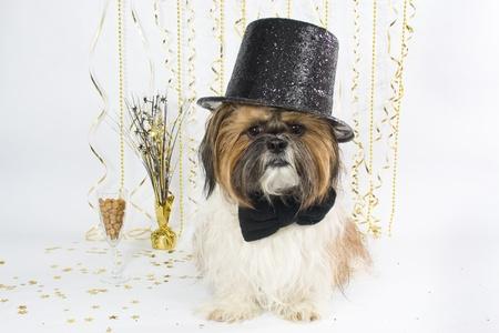 派手なシルクハットのシーズー kibbles のシャンパン グラスで新年を迎えます。