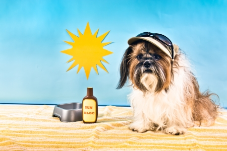 A Shih Tzu in a cap with sun glasses beats the heat with Sun Bloc and a dish of water. Stock Photo
