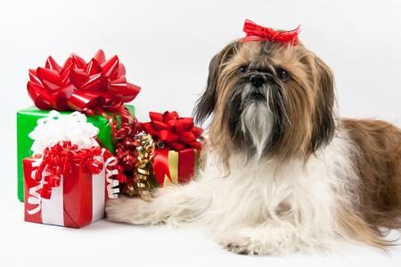 jaunty: A los guardias blancos, beige y negro Shih Tzu con un lazo rojo alegre de los paquetes de Navidad.