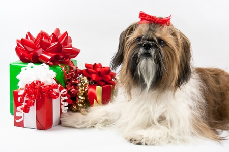 A white, tan and black Shih Tzu with a jaunty red bow guards the Christmas packages. photo