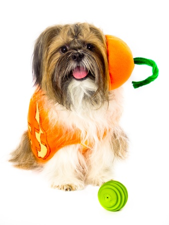 frazzled: A pumpkin-costumed Shih Tzu, looking frazzled, is ready to play ball.