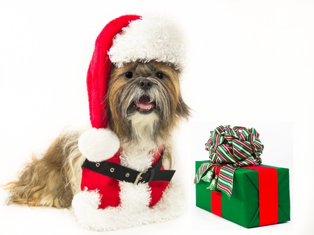 festively: A jaunty Shih Tzu, dressed in a Santa outfit and hat, sits by a festively wrapped present  Stock Photo