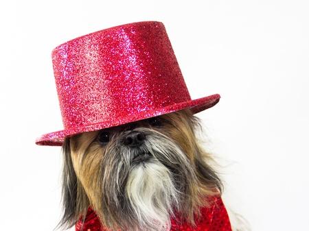 quizzical: A Shih Tzu in a glittery top hat has a quizzical look