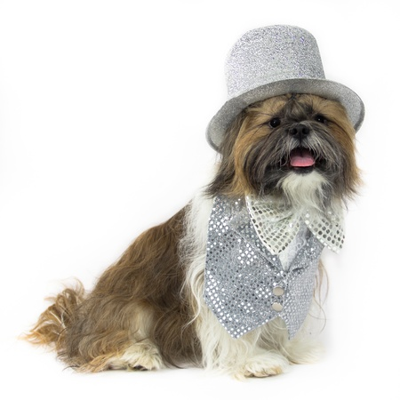 glitz: A happy Shih Tzu is dressed in a fancy silver sequin vest with lace inset, slver bow tie and silver top hat