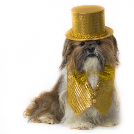 glitz: A jazzy Shih Tzu is dressed in a fancy gold sequin vest with lace inset, bow tie and top hat