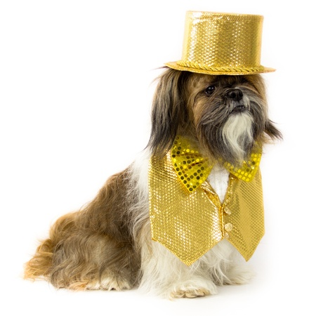 inset: A jazzy Shih Tzu is dressed in a fancy gold sequin vest with lace inset, bow tie and top hat