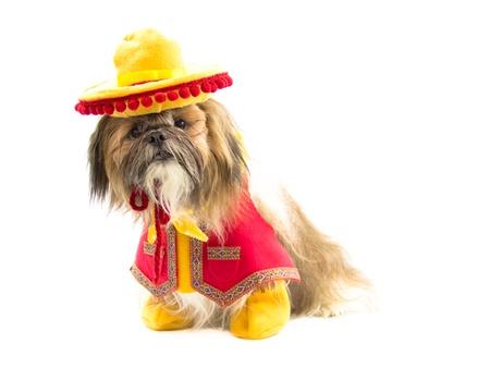 A Shih Tzu dog is dressed as a gaucho.
