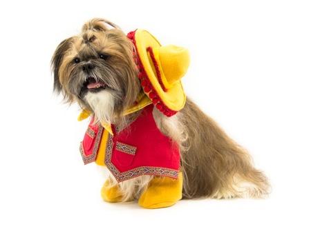 A Shih Tzu dog is dressed as a Mexican cowboy.