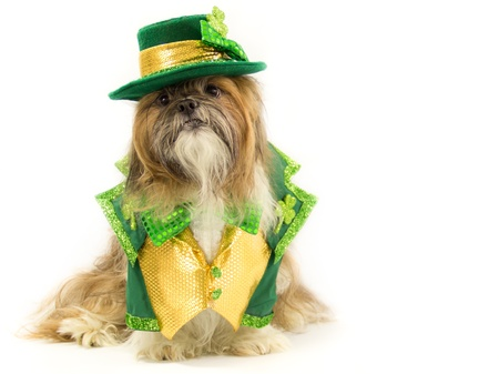 Dressed in a St. Patricks Day outfit, a Shih Tzu wears a green bow tie, a green and gold vest and a green hat. photo