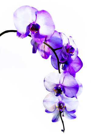 A stem of lilac amethyst orchids has big, beautiful flowers. Imagens