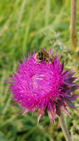 Bumblebee Pollinating a Thistle Stock Photo