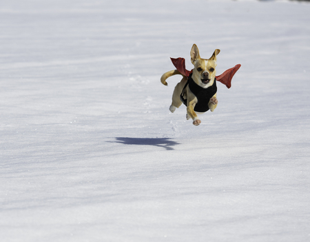 Small brown dog wearing a red cape running through the snow