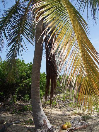 Palm Tree w Coconut on beach Stock fotó