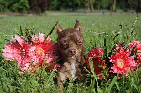 squinting: Chihuahua in the sun with daisies squinting Stock Photo