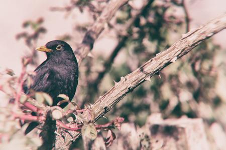 blackbird: Blackbird on branch