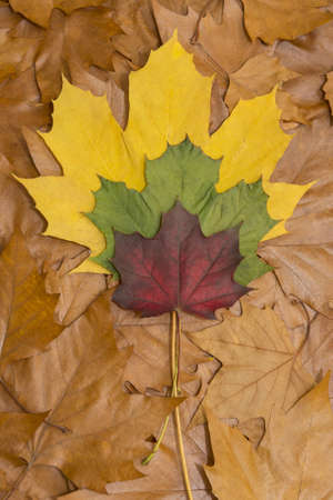 Colored leafs on brown leaves