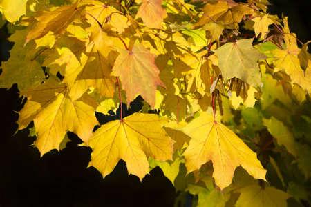 Herbstbl�tter eines Ahorn