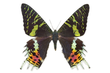 Butterfly Madagascan Sunset Moth Isolated On White Stock Photo