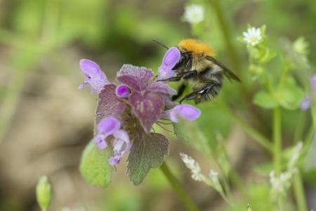 Macro Of A Bumble Bee On Nettle