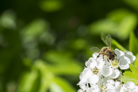 Macro Of A Bee On Whitethorn