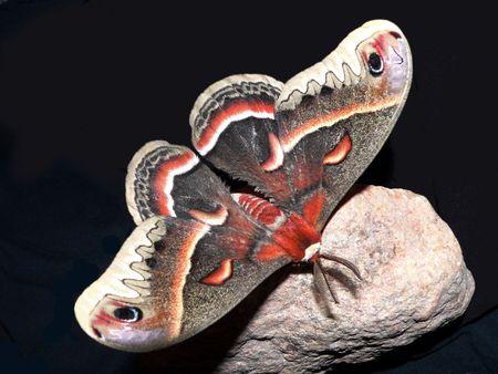 Beautiful Silk Moth