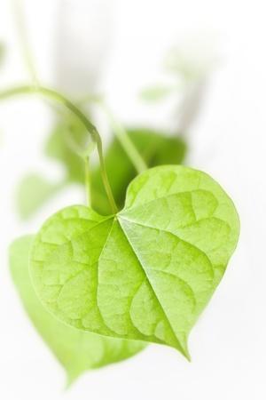 clean heart: heart leaf 2