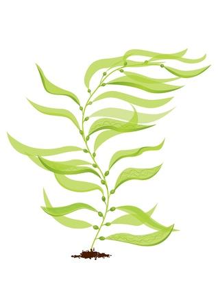 Giant kelp: vecto Stock Vector - 9832056