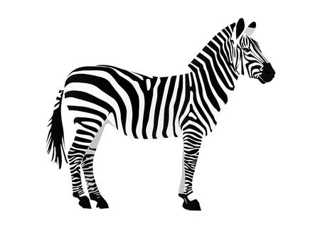 zebra stripes: Zebra Illustration